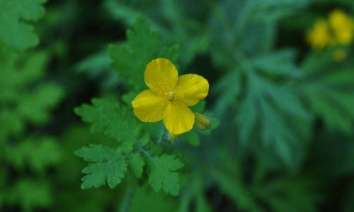 naturalne metody leczenie jaskolcze ziele zdrowie naturalnie wpis na bloga